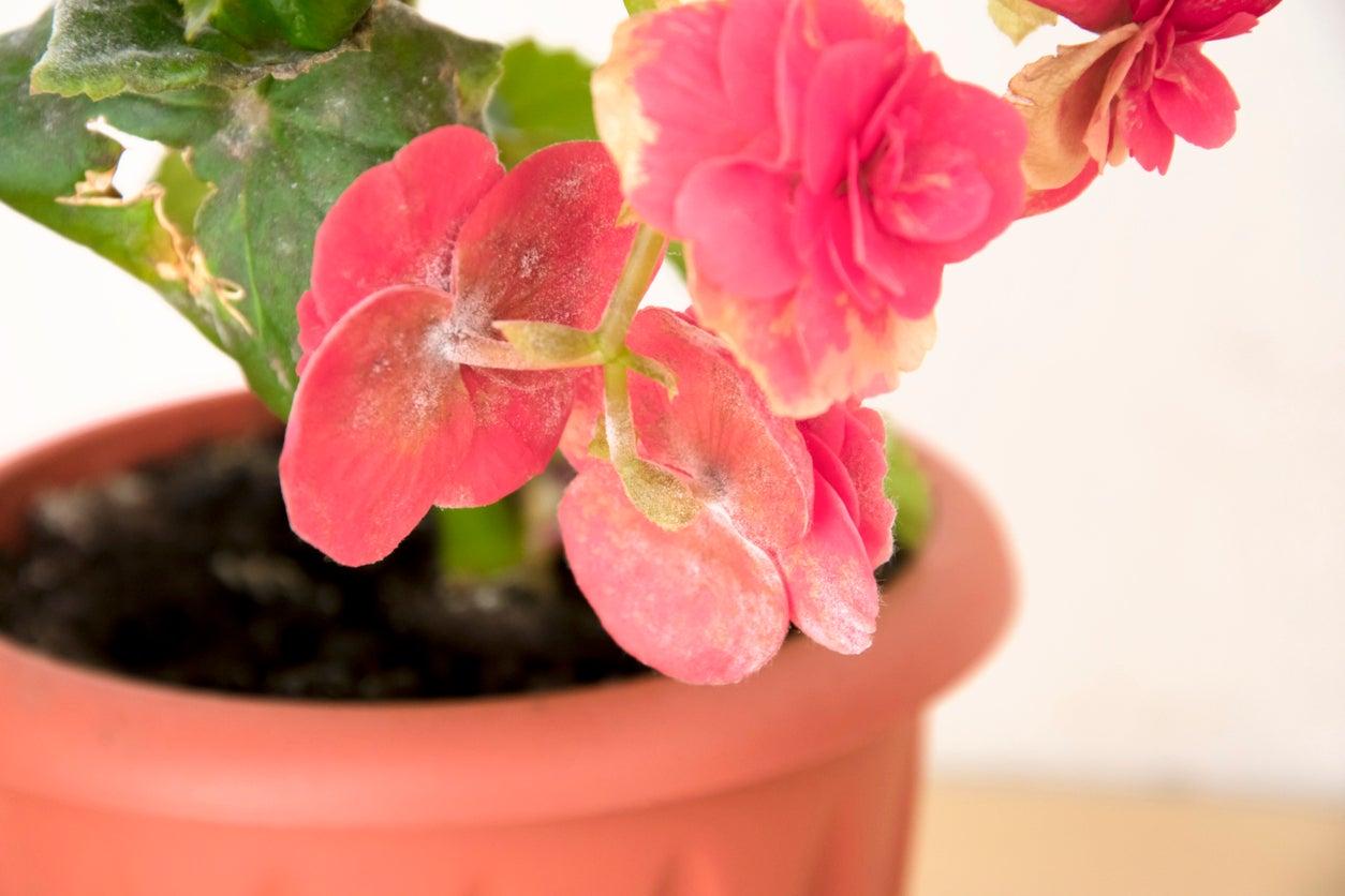 Treating Begonia Powdery Mildew How To Remedy Powdery Mildew On Begonias