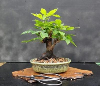 Growing Horse Chestnut As A Bonsai Learn About Bonsai Horse Chestnut Care