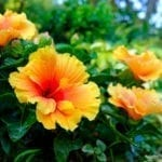 Propagating Hibiscus: Tips For Growing Hibiscus Cuttings ...