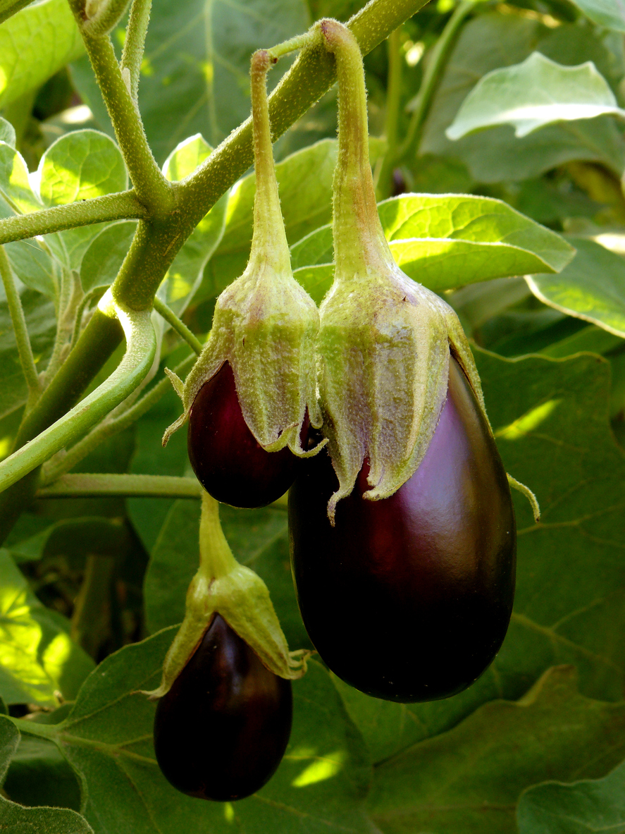 Eggplant Fertilizer Tips Feeding Eggplants In The Garden