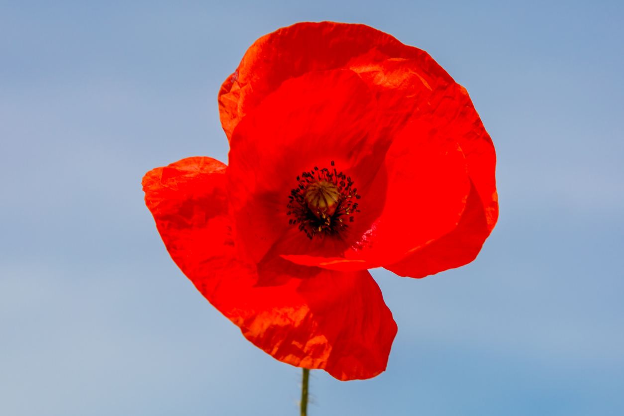 Varieties Of Poppy Flowers Learn About Different Poppy Plants To