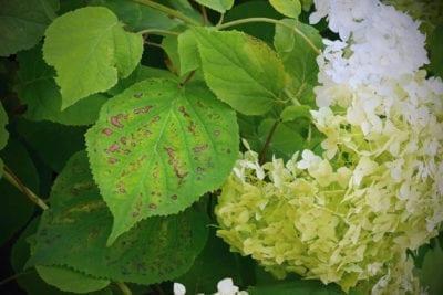 Leaf Spot Diseases On Hydrangeas Learn About Treating Hydrangea Leaf Spot