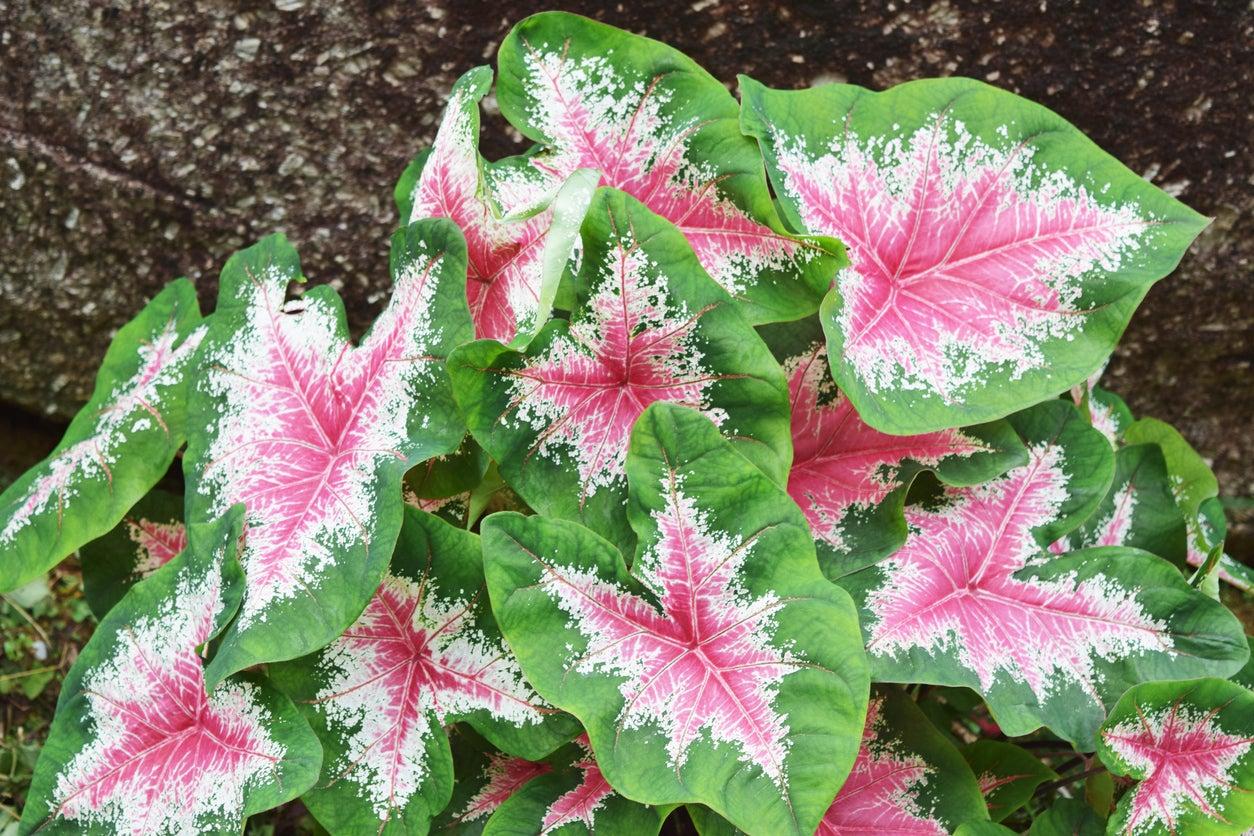 Growing Coleus Plants