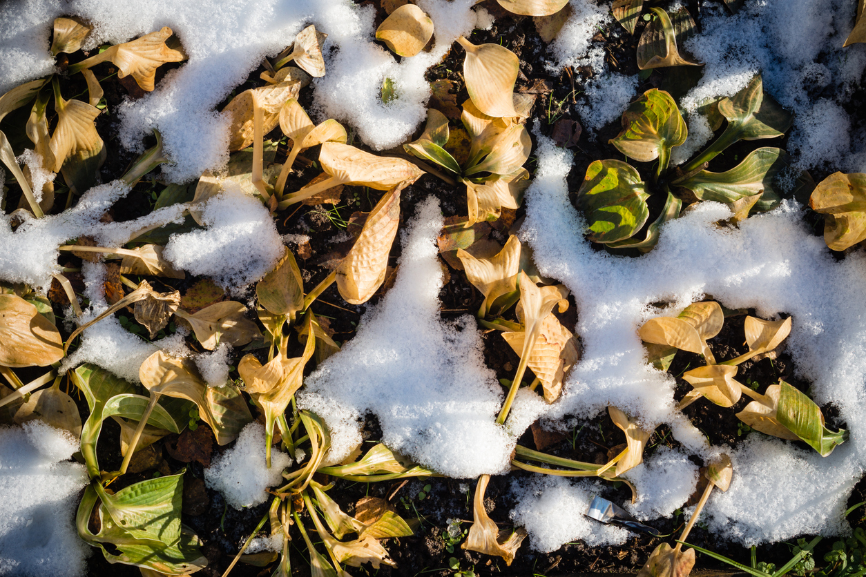 Hosta Winter Care: Learn About Winterizing Hostas In The ...