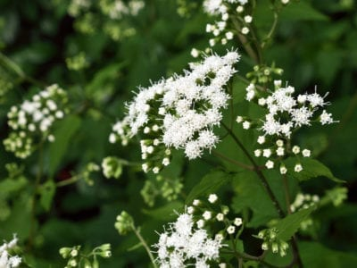 White Snakeroot Facts Learn About Snakeroot Plant Uses In Gardens