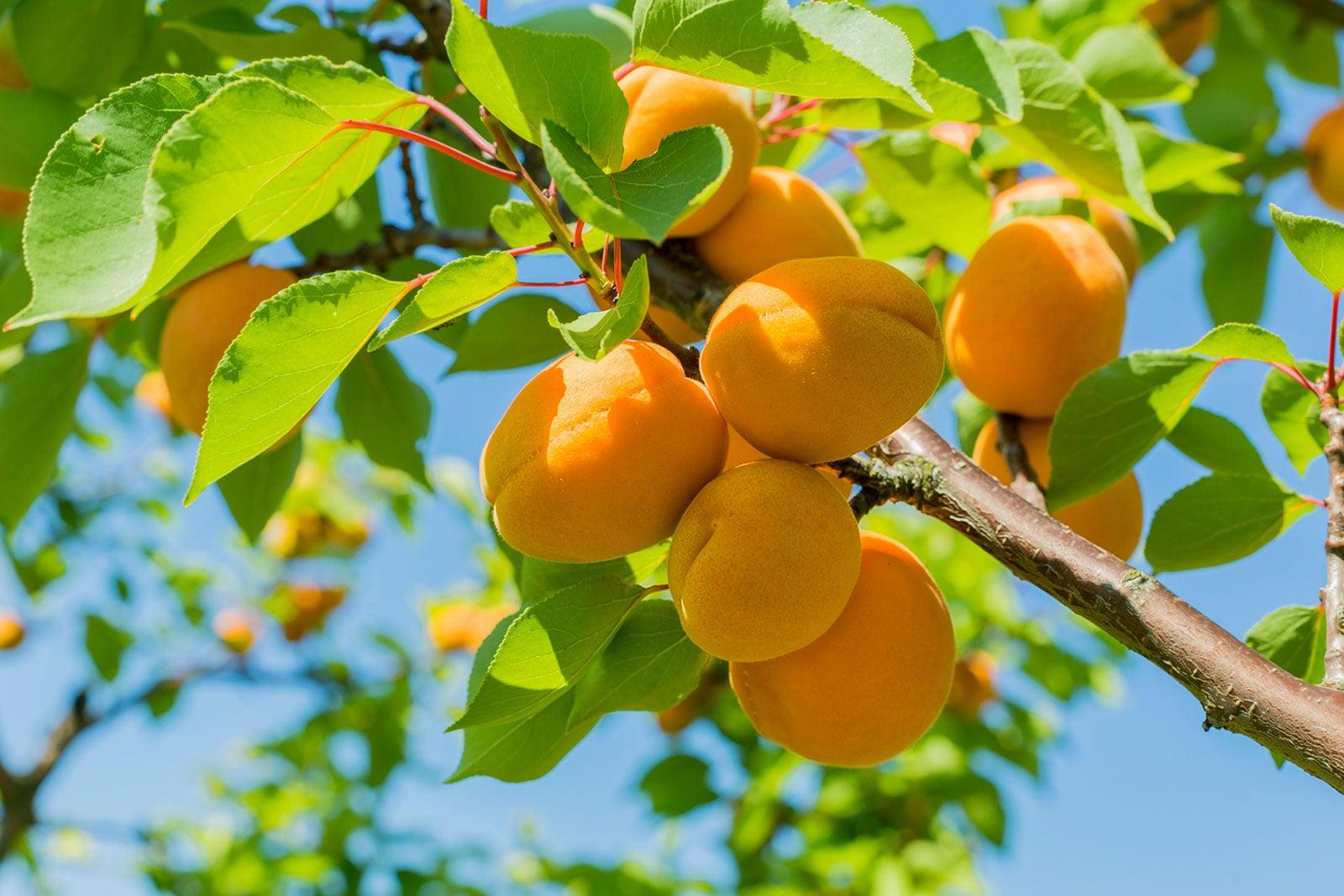 How To Fertilize Fruit Trees Fertilizing Schedule Guide Youtube