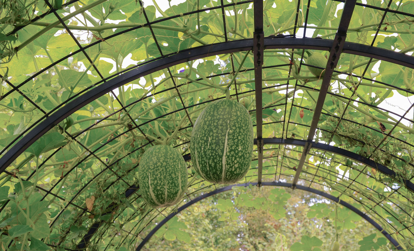 What Is A Squash Arch How To Build A Squash Arch In The Garden