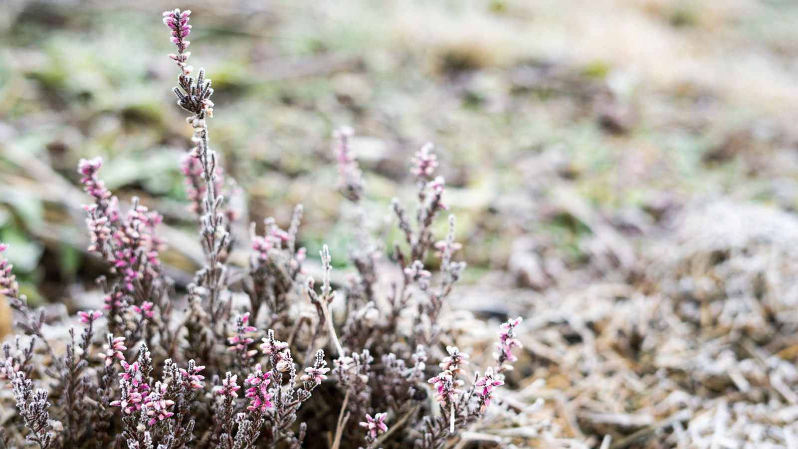 Winter Heather Varieties How To Grow Heather That Flowers In Winter