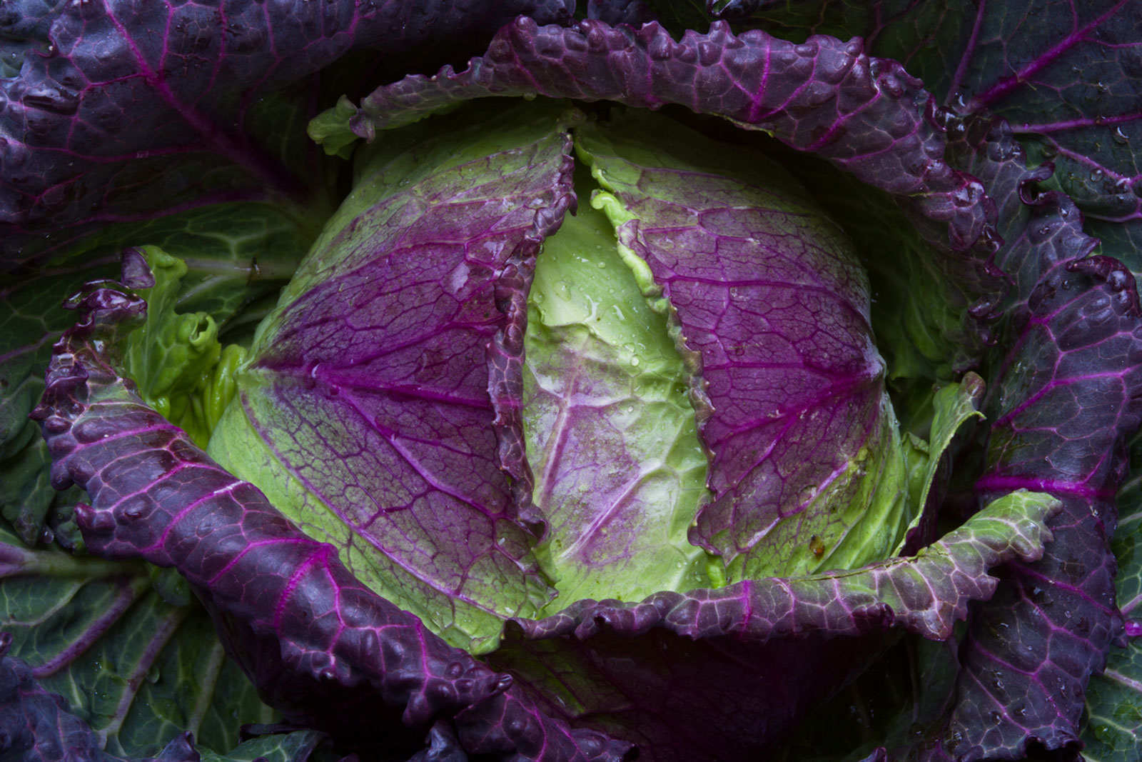 January King Cabbage Uses And Care When To Plant January King Cabbage