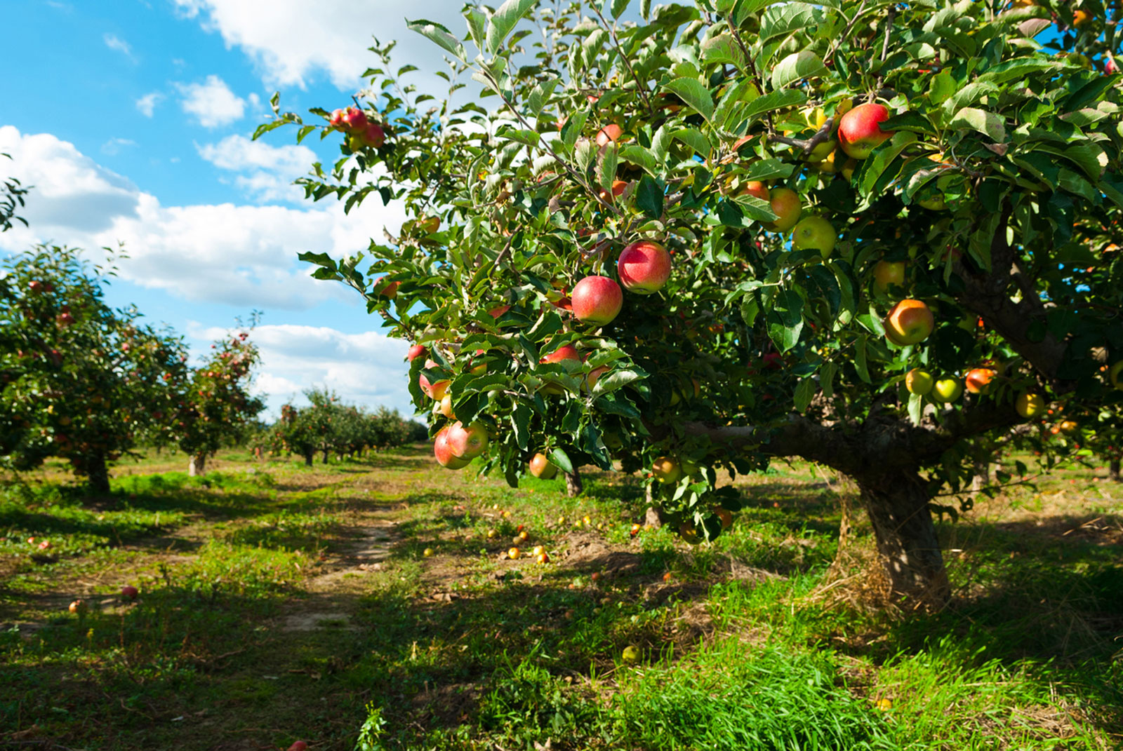 how to plant apple orchard