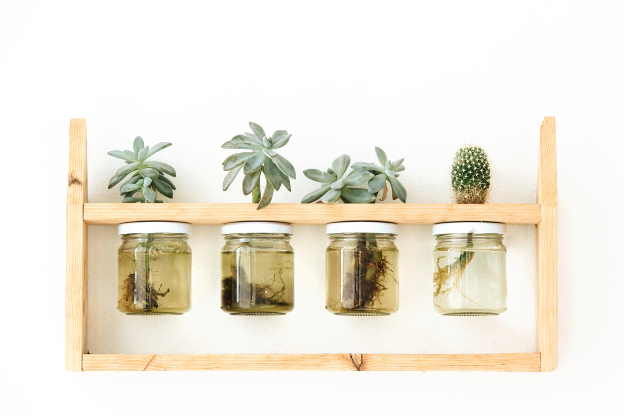 Succulent Water Propagation Tips For Growing A Succulent In Water