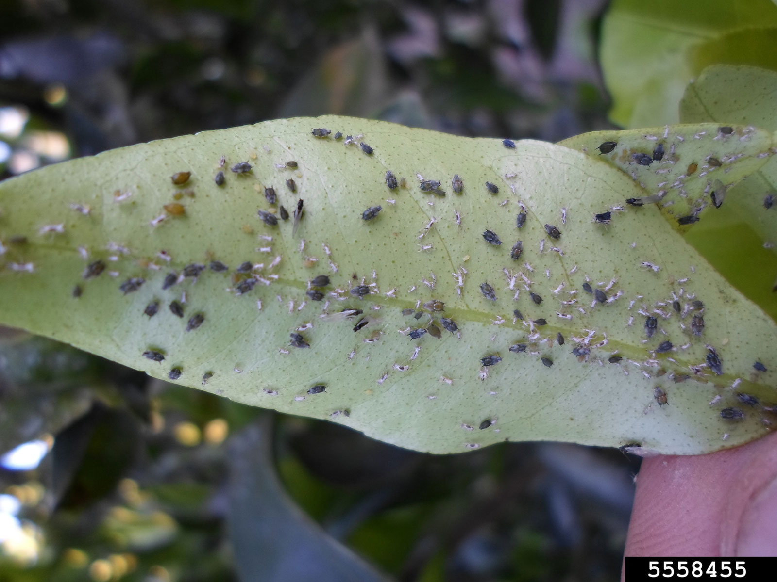 Houseplant Aphid Problems Tips For