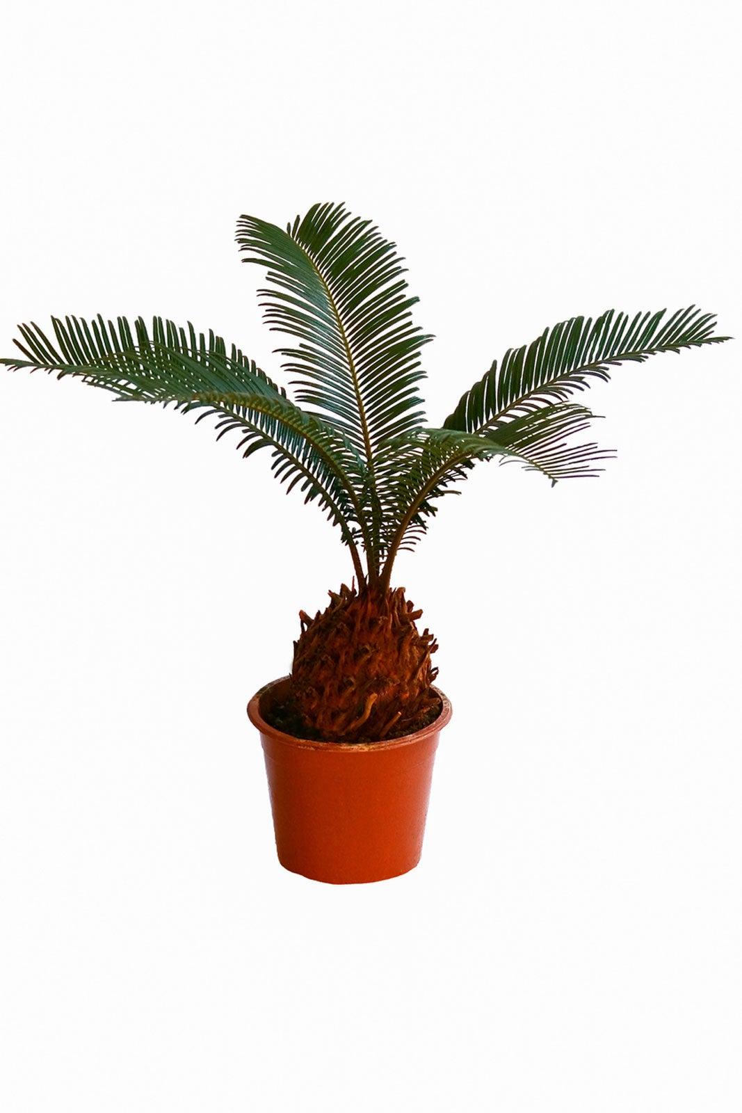Bonsai Sago Palm Tree How To Grow A Miniature Sago Palm