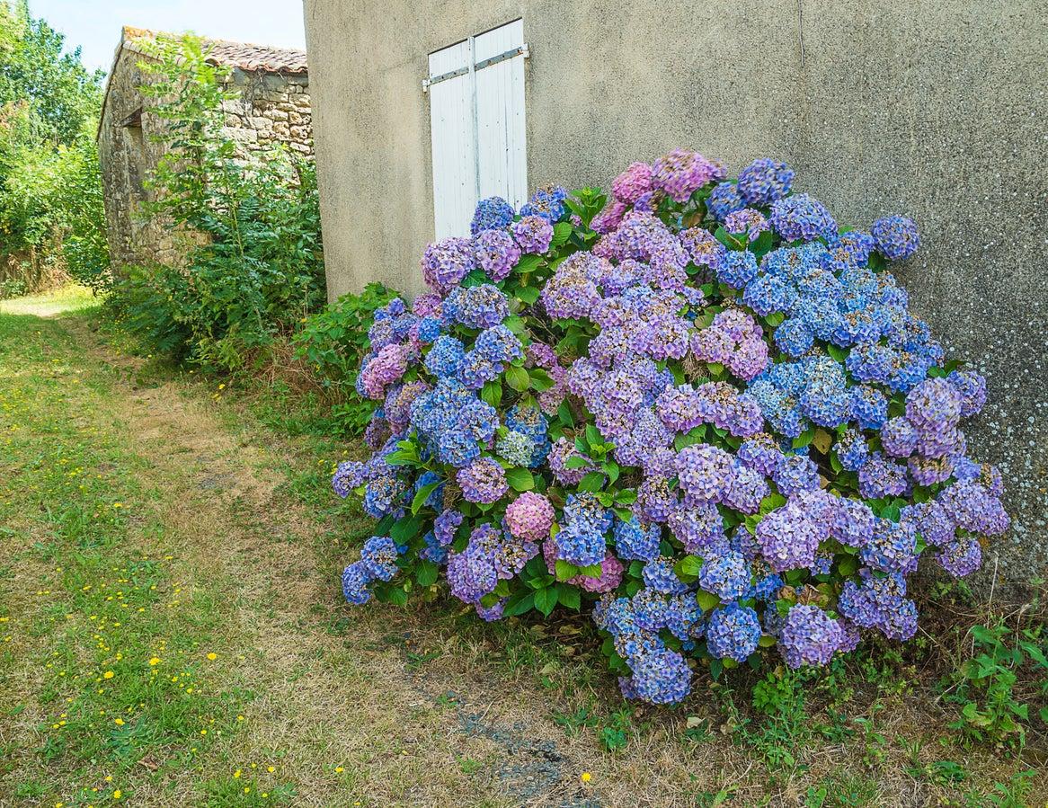 Hydrangea Bloom Time Learn About Hydrangea Flowering Season