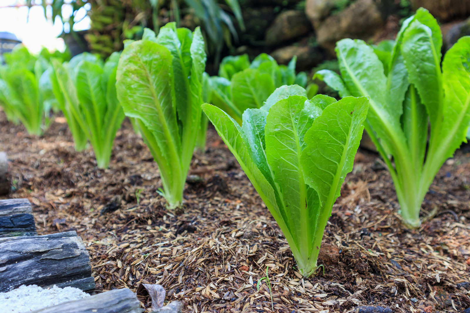 Best Way To Grow Romaine Lettuce – Tips For Growing ...