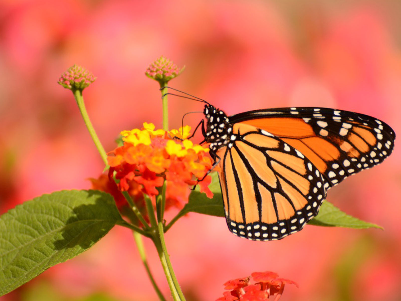 Butterfly Garden Benefits: How Are Butterflies Good For ...