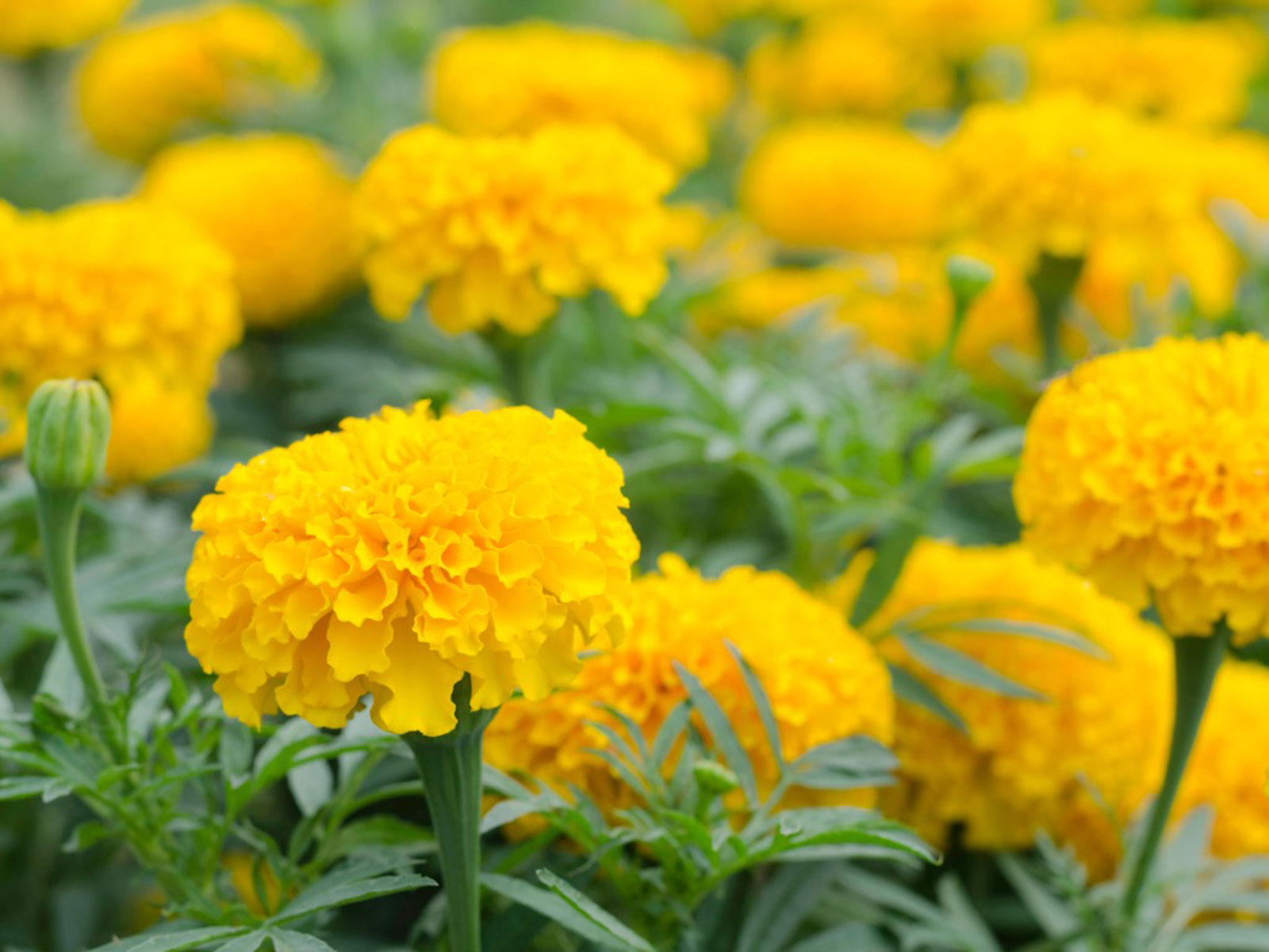 Marigold Uses And Benefits Different Ways To Use Marigold Plants