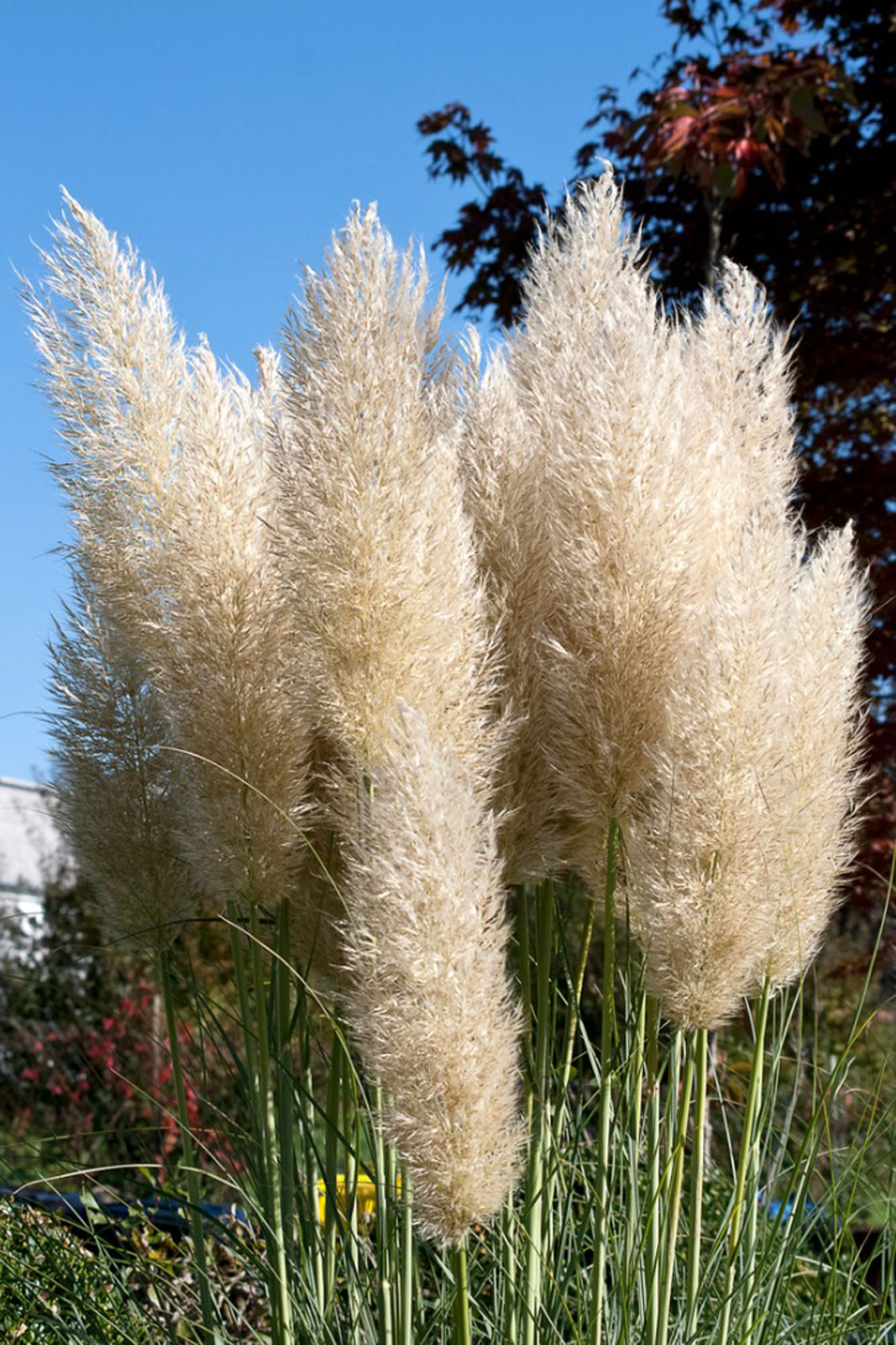 Container Gown Pampas Grass - Can You Grow Pampas Grass In Pots