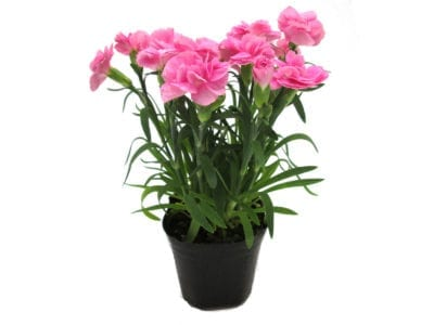 Growing Carnations In A Pot Care For Container Grown Carnation Flowers