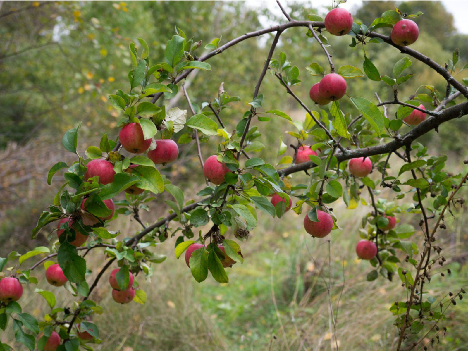 What Are Wild Apples Learn About Types Of Wild Apple Trees