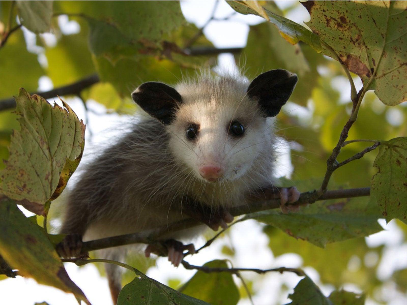 Opossum Facts The Misunderstood And Helpful Opossum