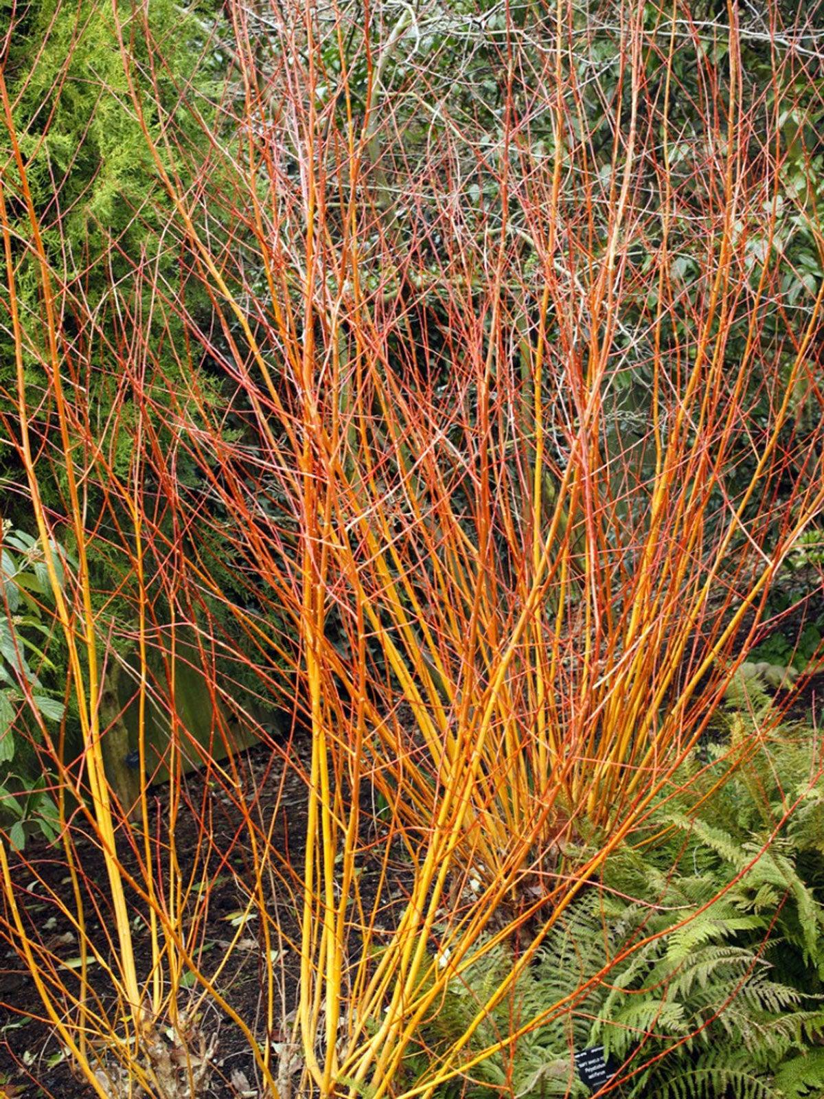 bark willow în varicoză unguent cu ulcer varical