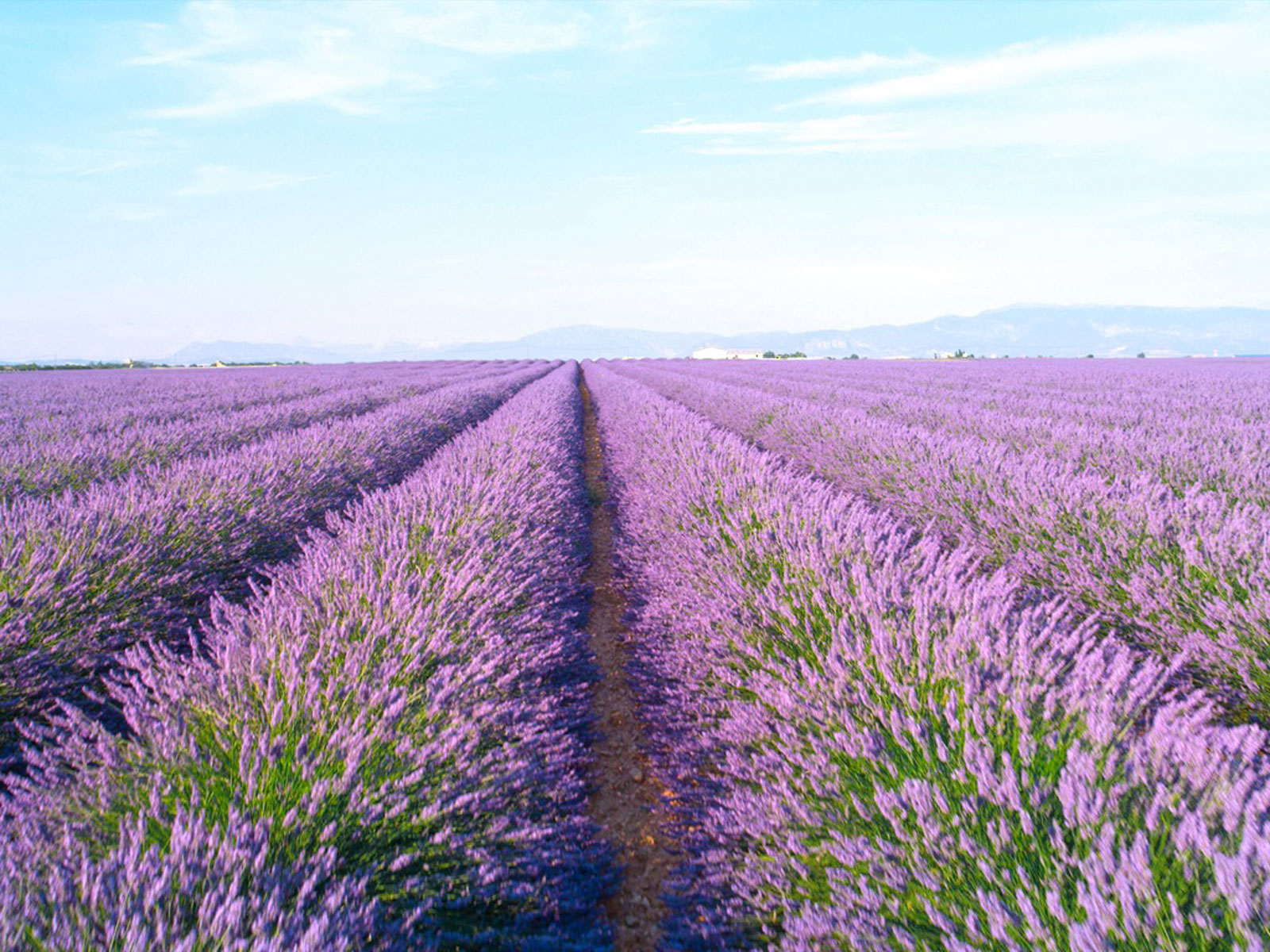 Lavender Farming Tips On Growing A Field Of Lavender