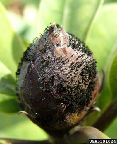 Why Do Azalea Blooms Turn Brown Reasons For Brown Azalea Flowers