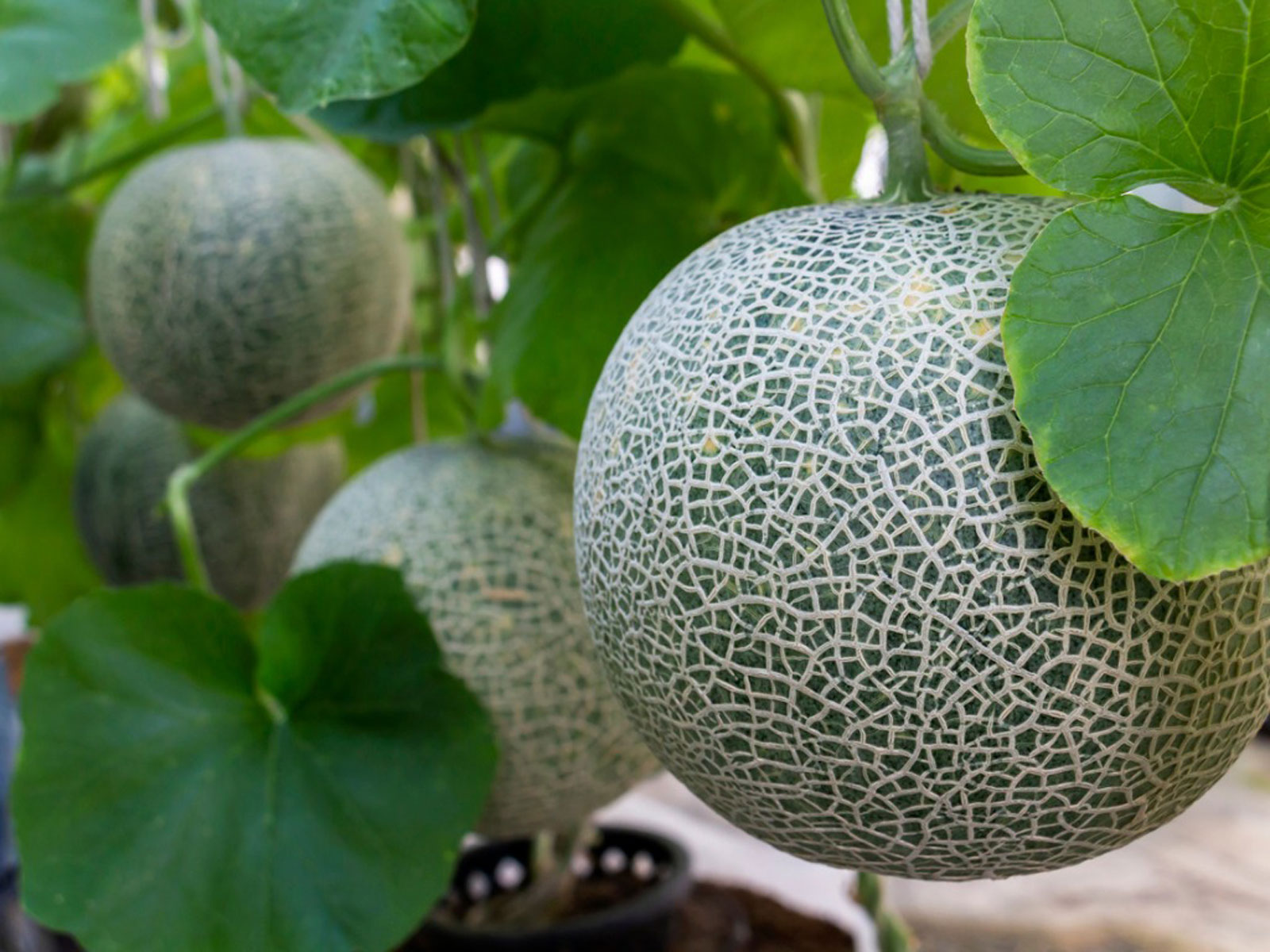 How To Prune A Cantaloupe Plant Should You Prune Cantaloupe Vines Use them in commercial designs under lifetime, perpetual & worldwide rights. should you prune cantaloupe vines