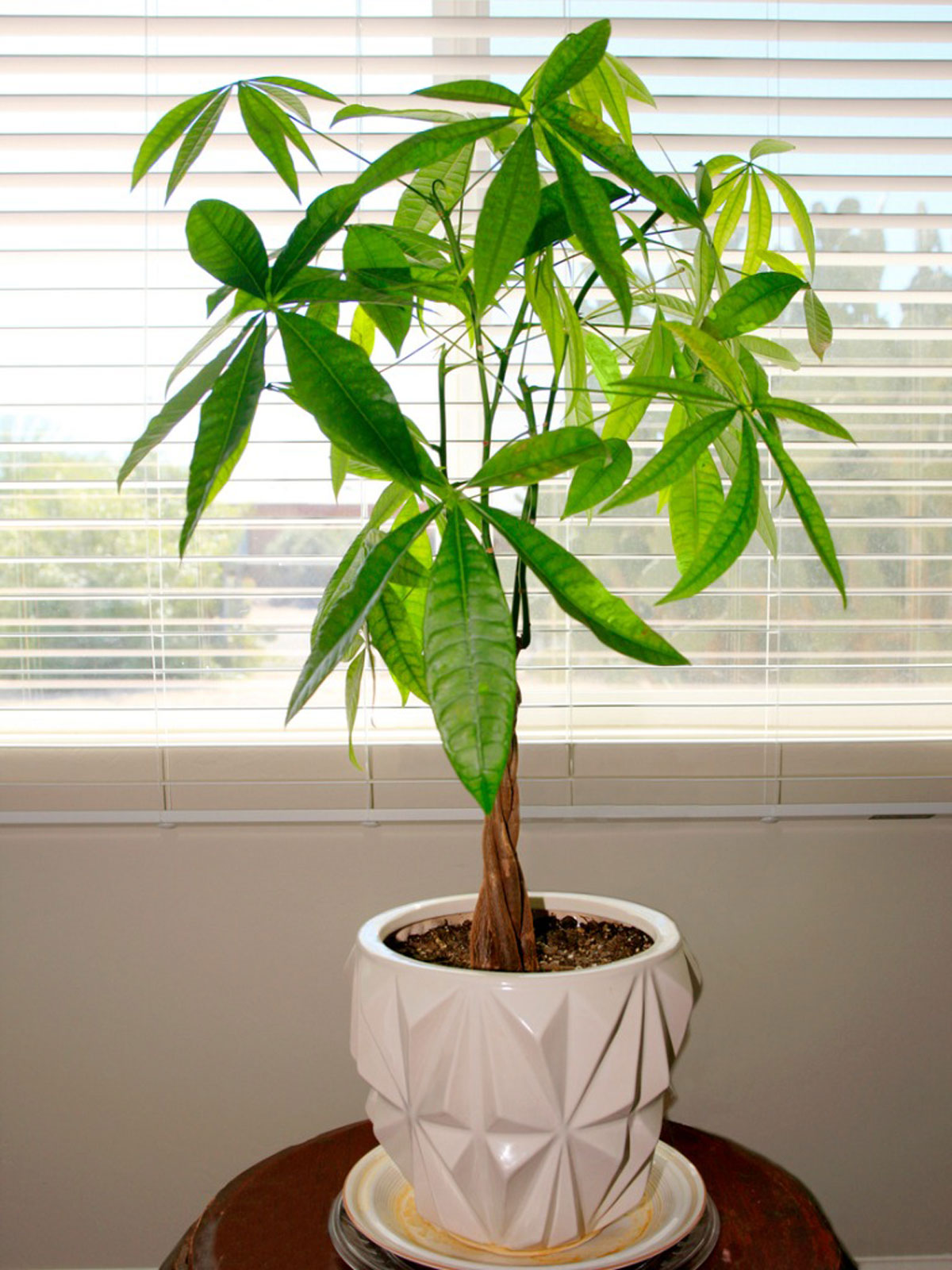 Large Indoor Potted Plants Tall Easy To Grow Houseplants