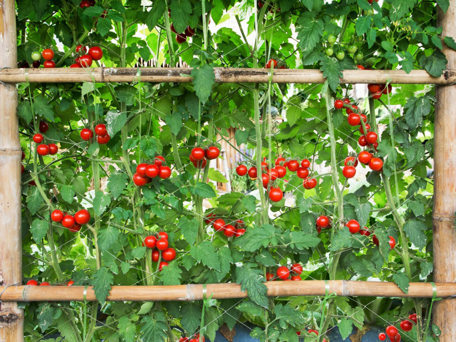 growing tomatoes in raised beds