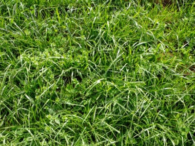 Controlling Tall Fescue How To Get Rid Of Tall Fescue In The Lawn