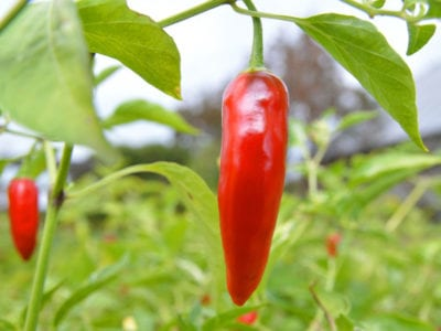 Tips & Information about Peppers - Gardening Know How