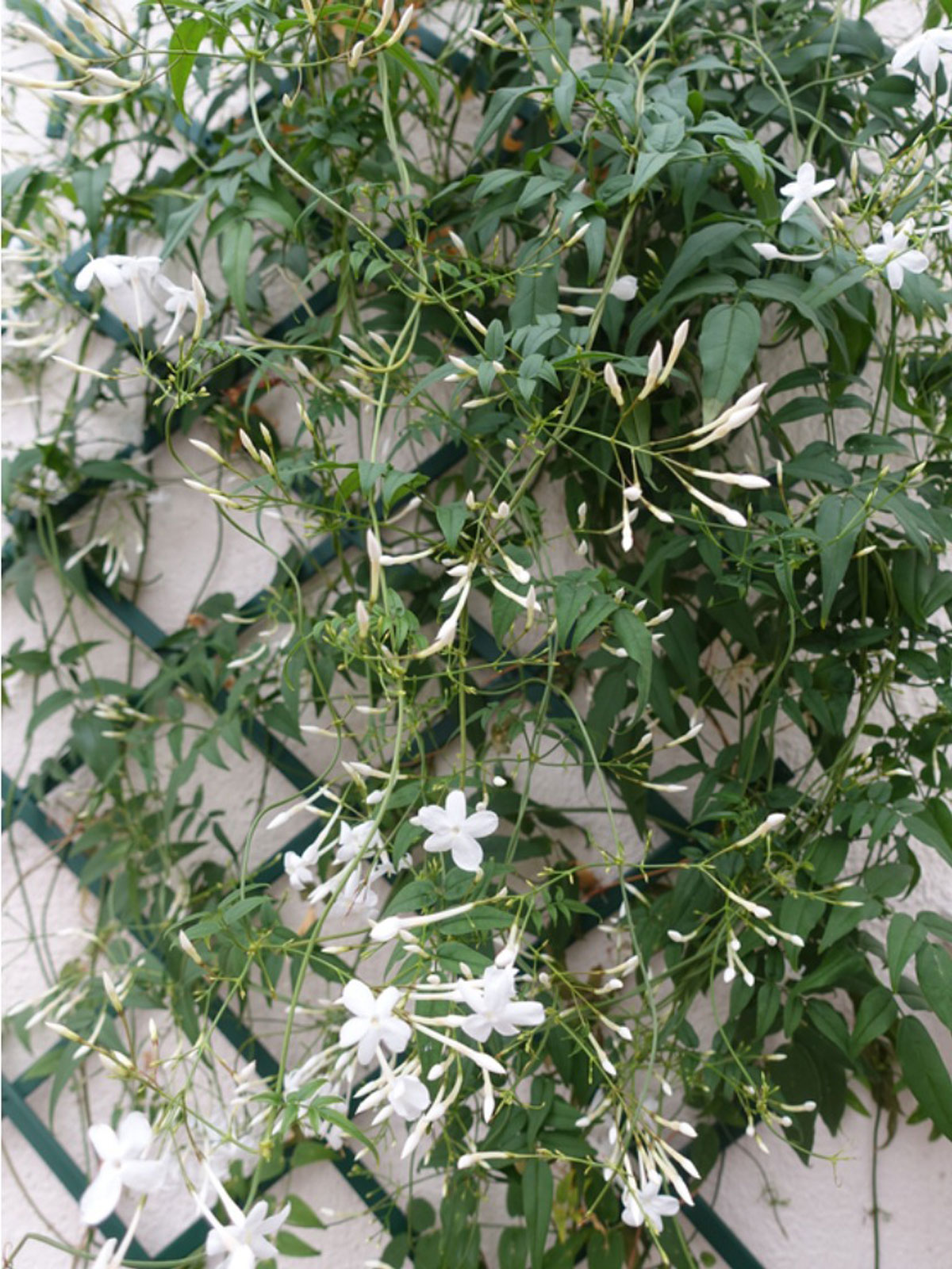 Growing Jasmine On A Trellis Or Wall: How To Train Jasmine ...