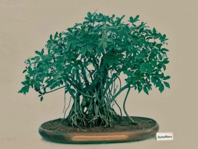 Growing Schefflera As Bonsai How To Make A Schefflera Bonsai Tree