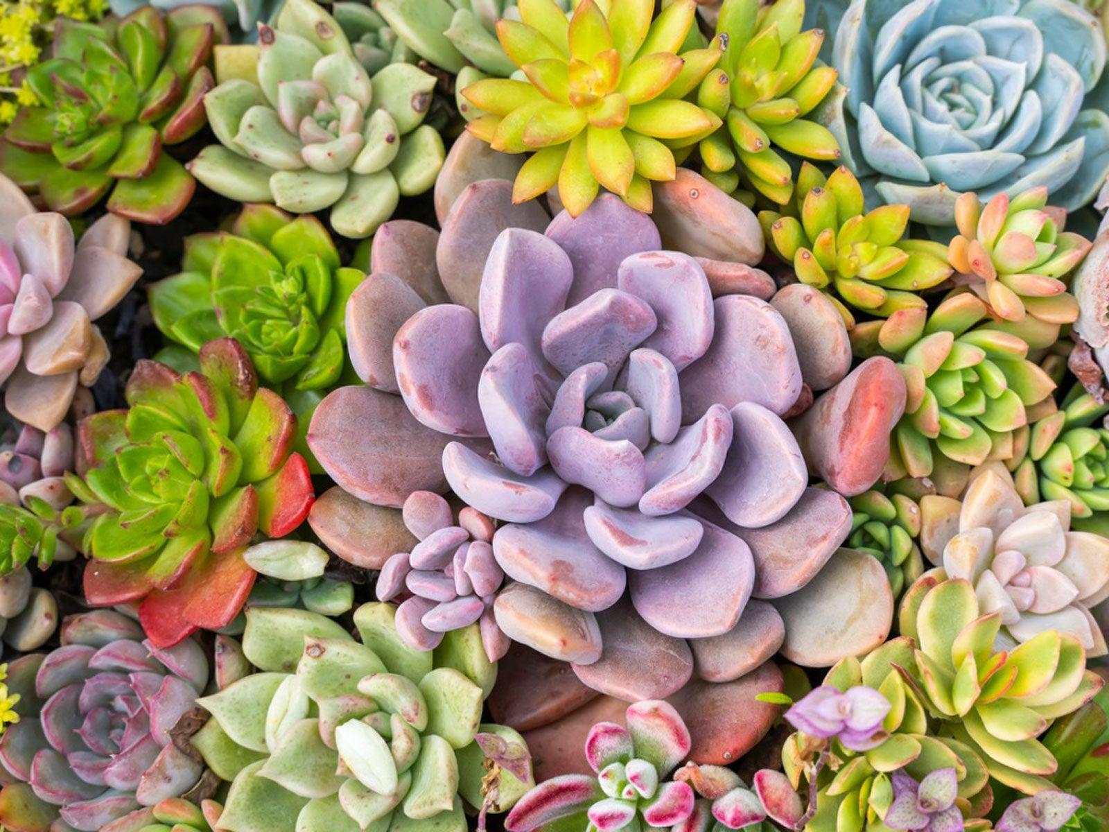 Different Succulent Colors Choosing Bright Colorful Succulents