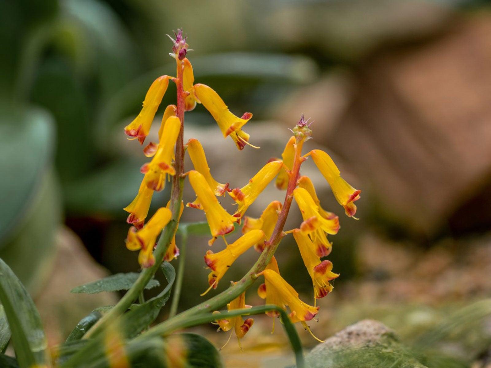 Lachenalia ensifolia ssp maughanii Polyxena FS bulb
