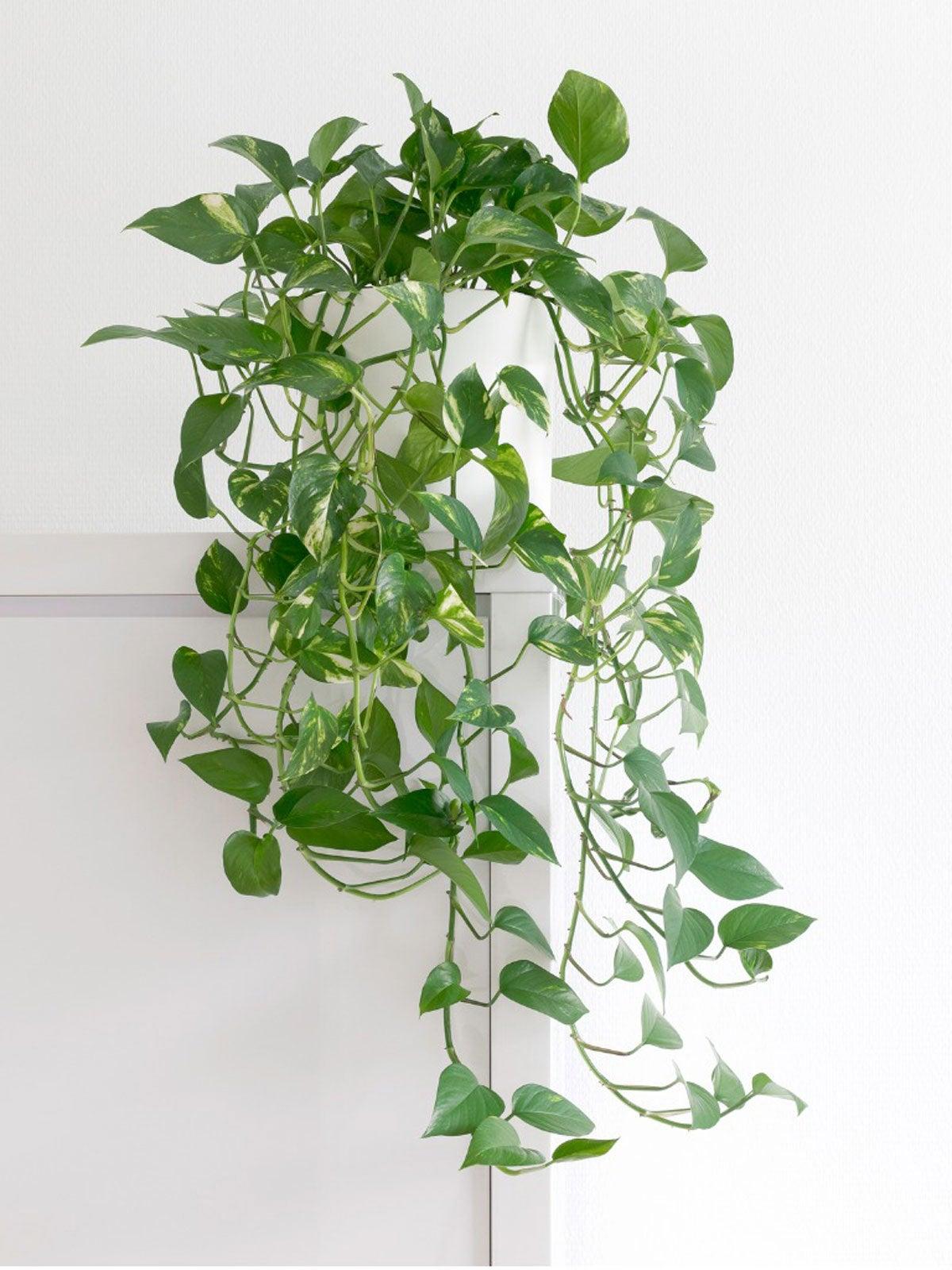 Super Succulent Easy-Grow Houseplant