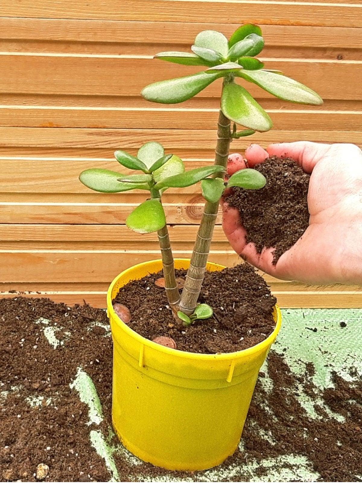 Jade Repotting Guide When Should I Repot Jade Plants