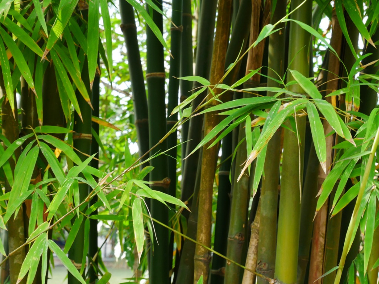 Grow And Care For Bamboo In The Garden, How To Care For Outdoor Bamboo Plants