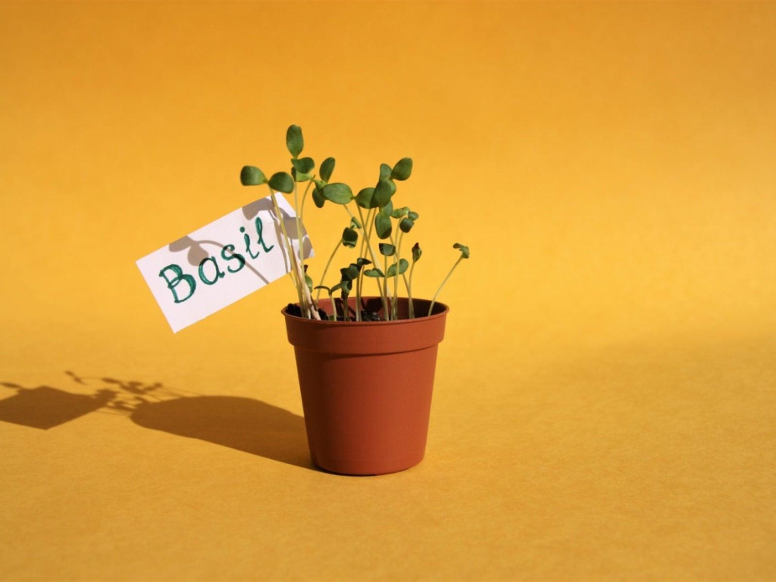 Information On Growing Basil Seeds