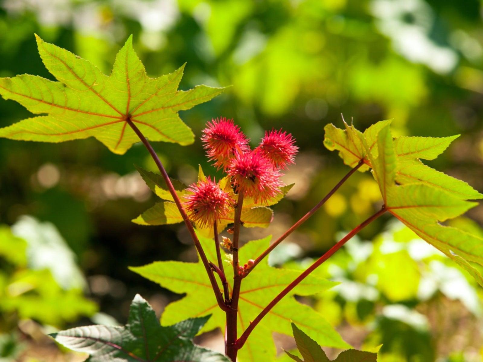 Castor Bean Plants: Information For Growing Castor Beans Safely