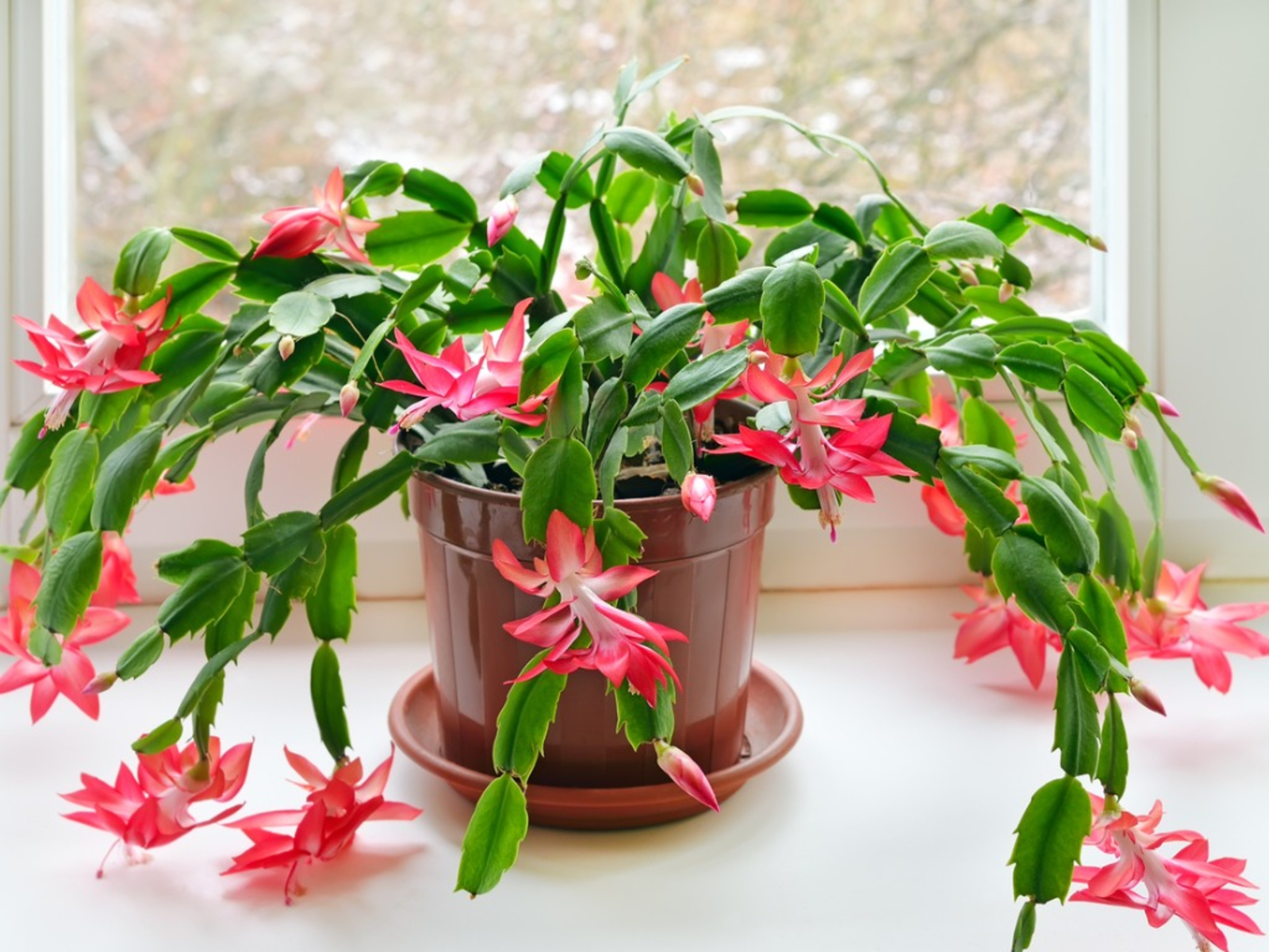 How To Care For A Christmas Cactus Houseplant