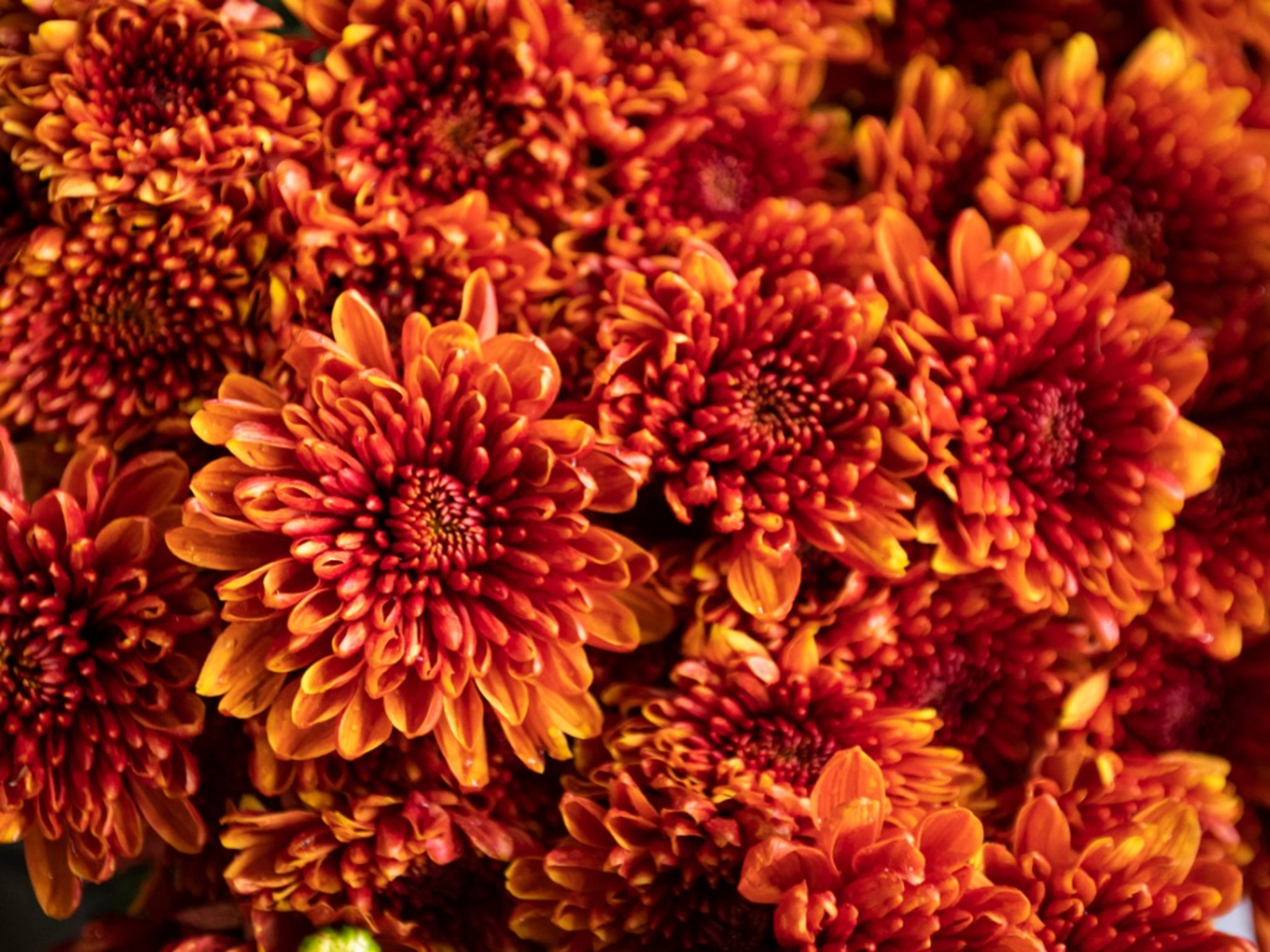 Chrysanthemum Care Tips For Growing Mums In The Garden