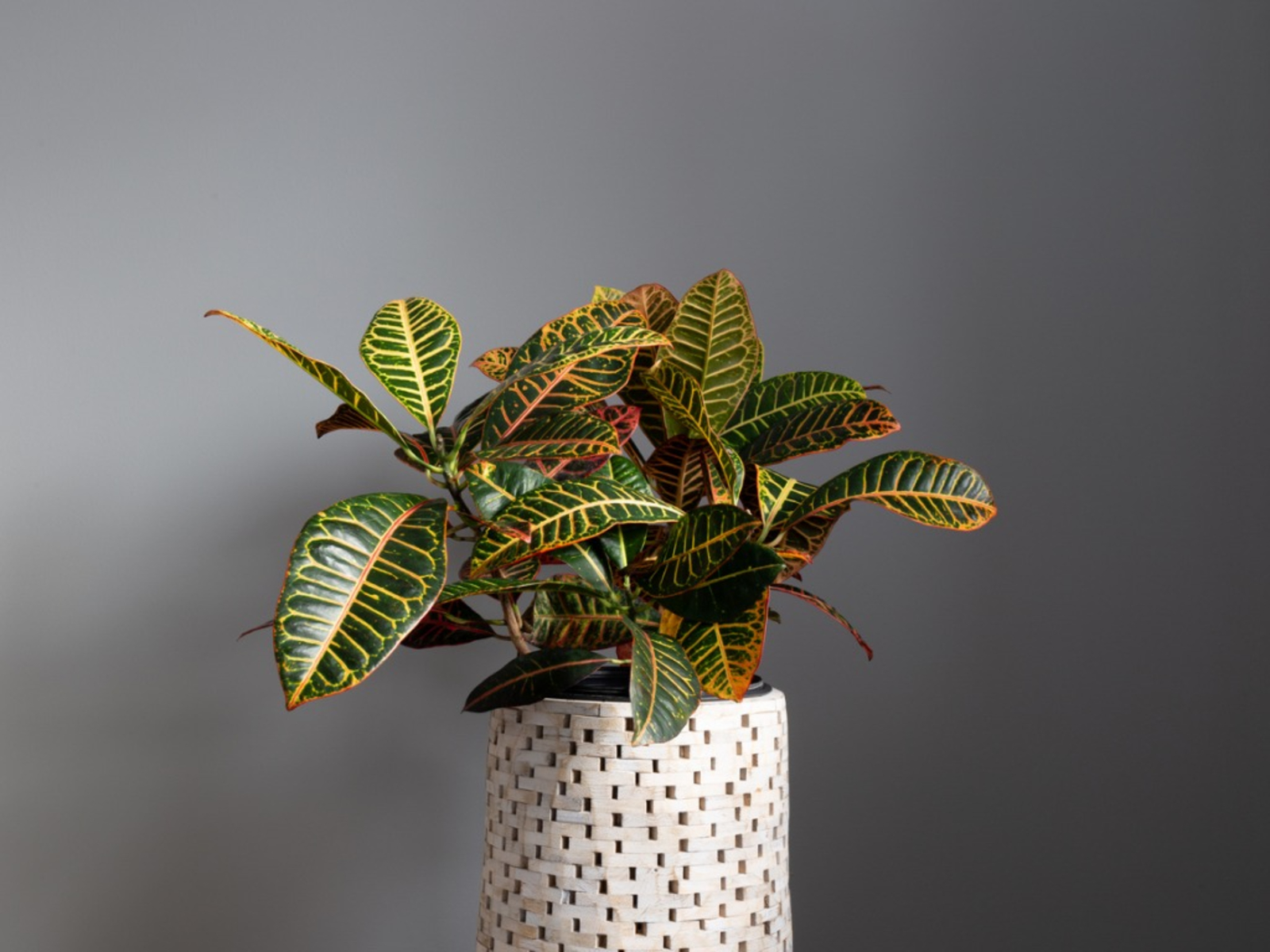 Croton Growing Caring For Croton Houseplant