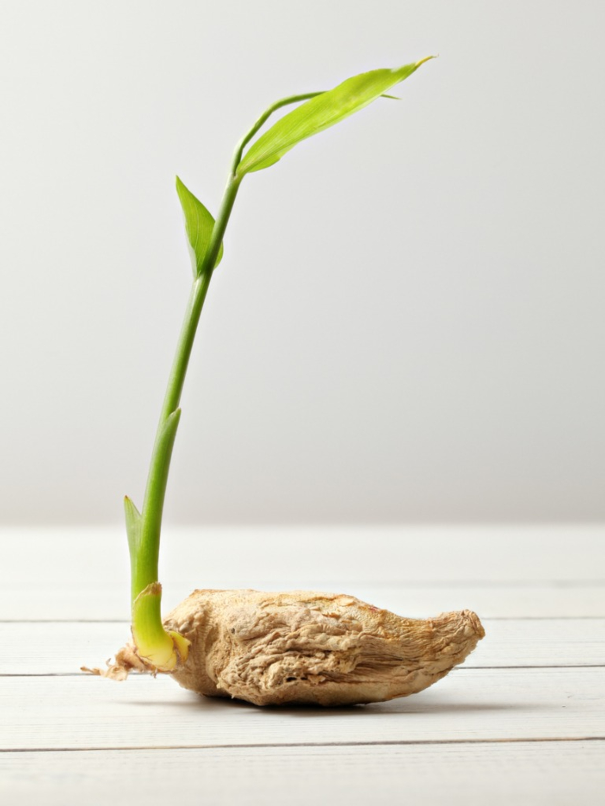 How To Grow Ginger Root - Planting Ginger Plant In Your Herb Garden
