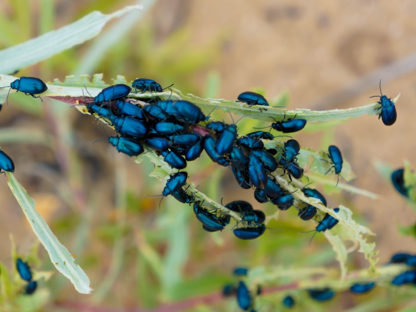 flea beetles picture id186931683 - How To Get Rid Of Flea Beetles On Potato Plants