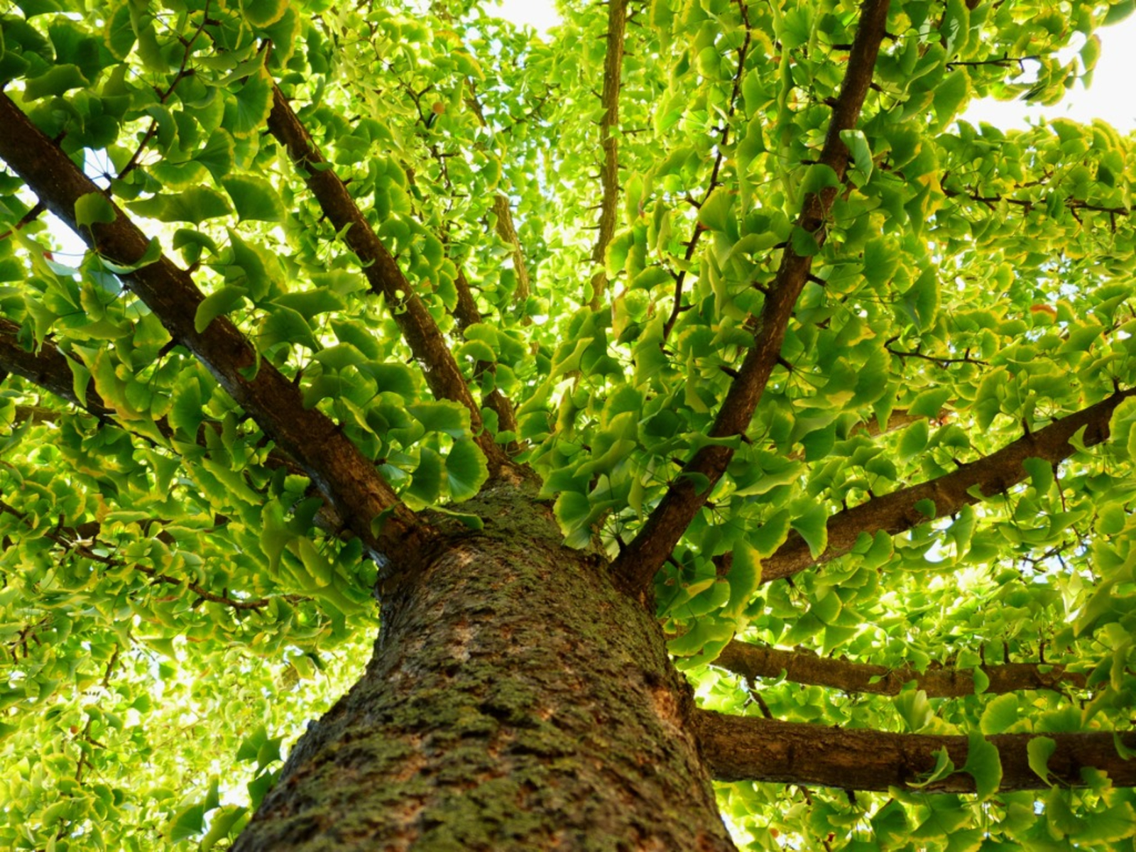 Ginkgo Biloba Benefits - Tips For Growing Ginkgo Trees