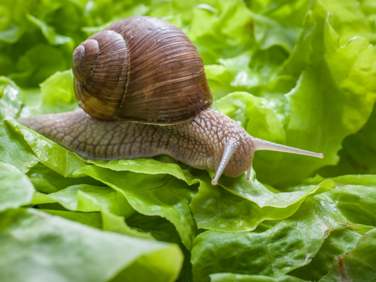 How To Control Snails Naturally In The Garden