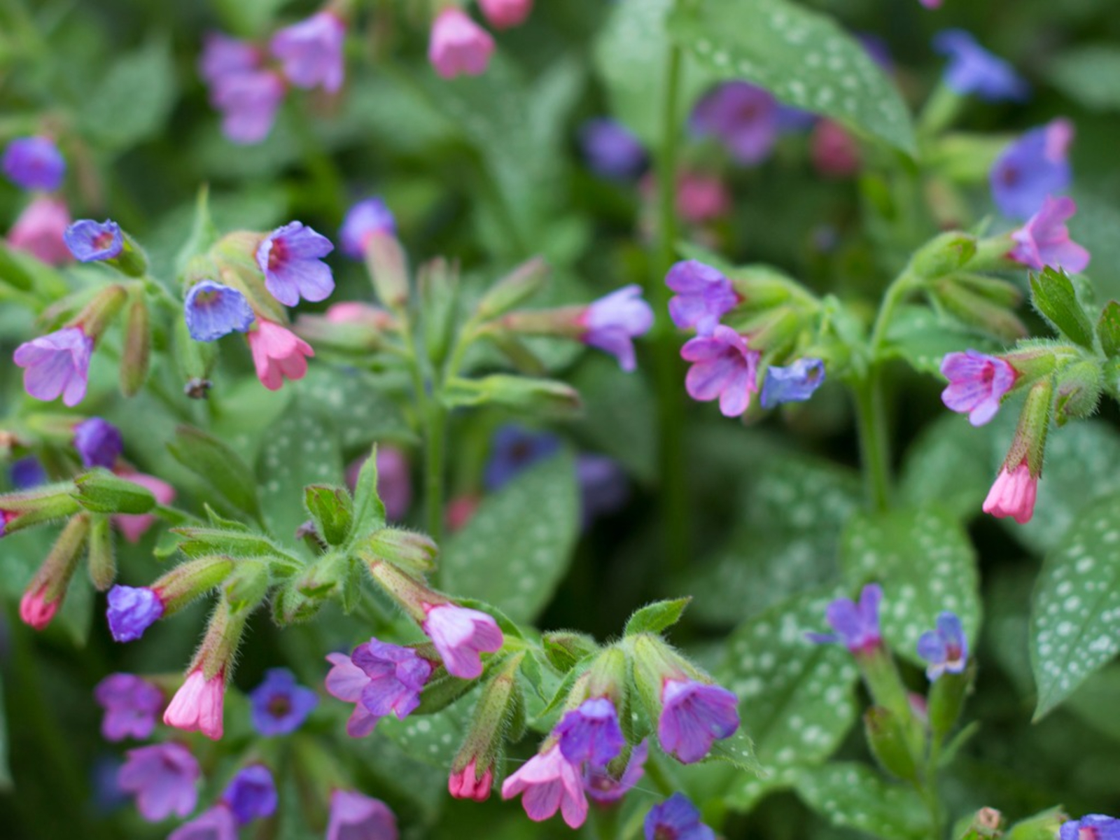 Lungwort Plants - How To Grow Lungwort